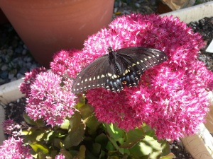 swallowtail who overwintered in our hydro garden and then went out to the garden